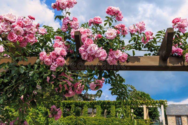 Ρόδινα τριαντάφυλλα αναρρίχησης σε Eltville AM Ρήνος στοκ εικόνες με δικαίωμα ελεύθερης χρήσης