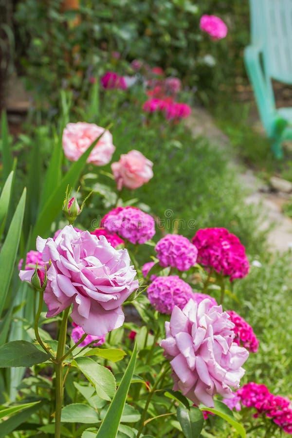 Ρόδινα τριαντάφυλλα σε ένα υπόβαθρο του ανθίσματος γλυκός-William στοκ φωτογραφία με δικαίωμα ελεύθερης χρήσης