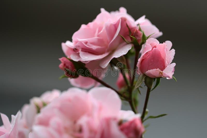 Ρόδινα τριαντάφυλλα στον κλάδο στοκ φωτογραφίες