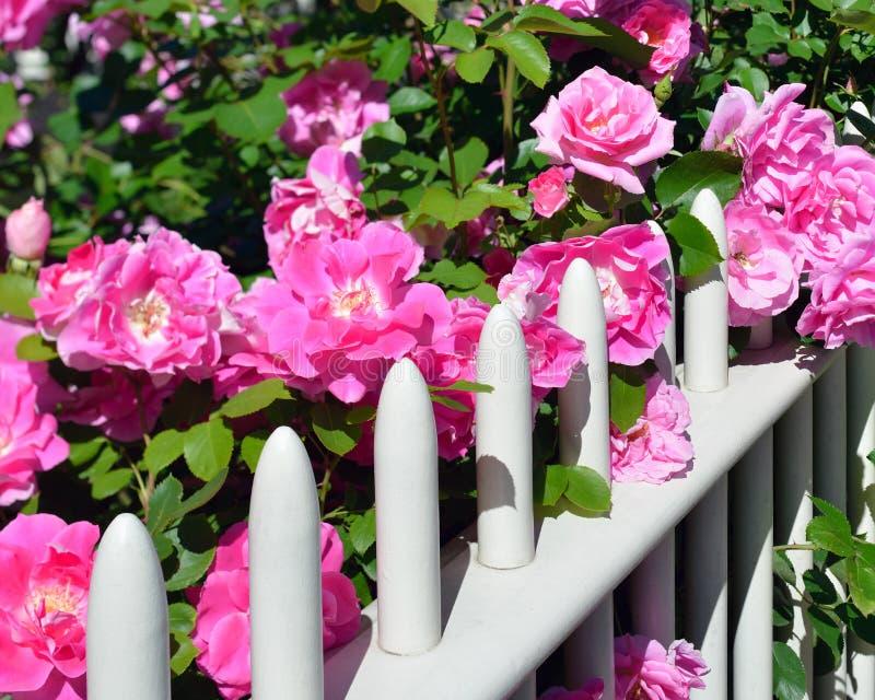 Ρόδινα τριαντάφυλλα στο φράκτη στοκ φωτογραφίες