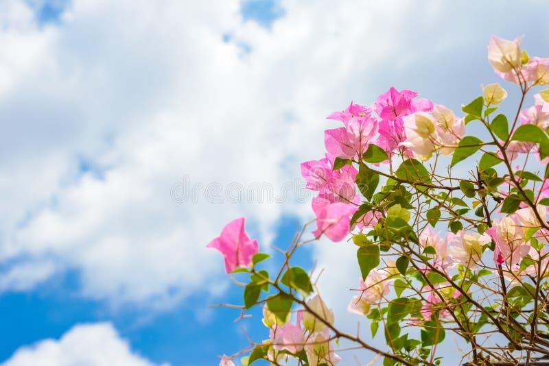 Ρόδινα bougainvilleas άνθισης ενάντια στο μπλε ουρανό στοκ εικόνες με δικαίωμα ελεύθερης χρήσης
