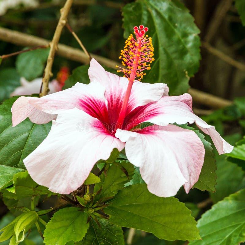 Ρόδινα hibiscus ανθίζουν επικεφαλής στενό επάνω στοκ εικόνα με δικαίωμα ελεύθερης χρήσης