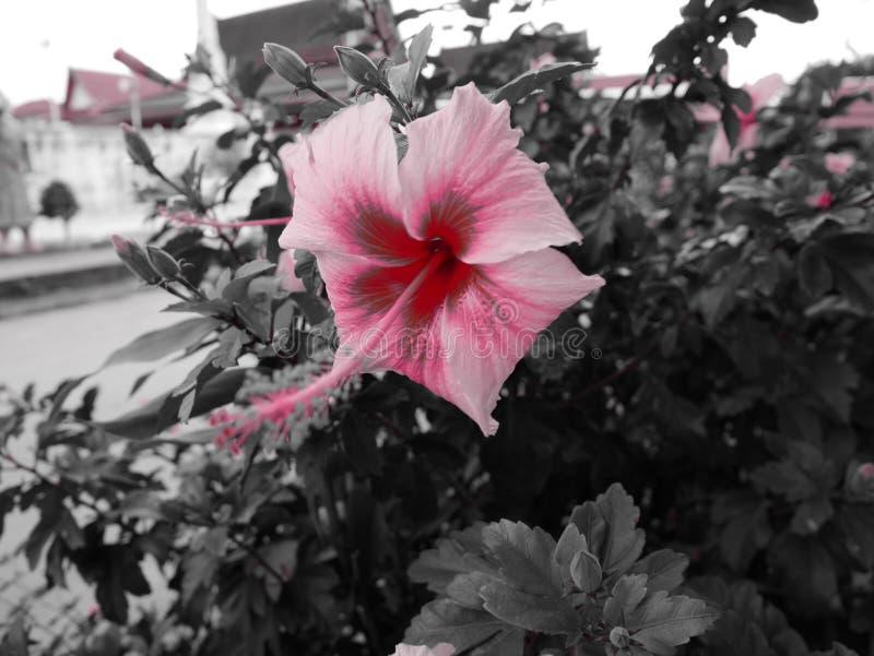 Ρόδινα Hibiscus στοκ εικόνα με δικαίωμα ελεύθερης χρήσης