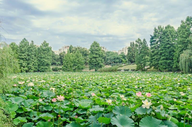 Ρόδινα nuphar λουλούδια, πράσινος τομέας στη λίμνη, νερό-κρίνος, λίμνη-κρίνος στοκ εικόνες