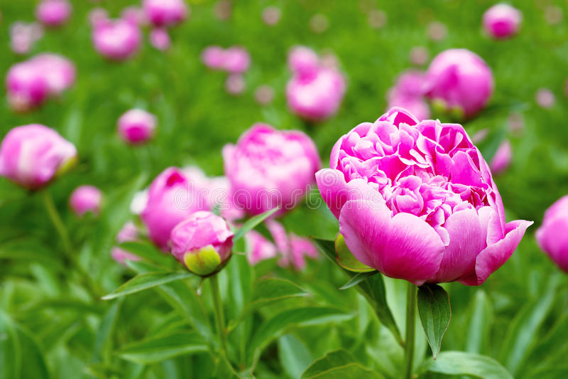 Ρόδινα peony λουλούδια στον κήπο στοκ φωτογραφίες με δικαίωμα ελεύθερης χρήσης