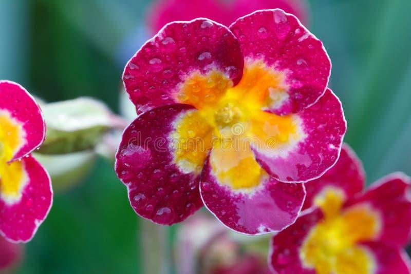 Ρόδινα primrose λουλούδια με τις πτώσεις δροσιάς στον κήπο στοκ φωτογραφίες με δικαίωμα ελεύθερης χρήσης