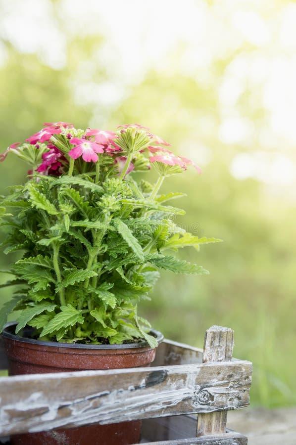 Ρόδινα verbena λουλούδια στο παλαιό κιβώτιο στοκ εικόνες με δικαίωμα ελεύθερης χρήσης