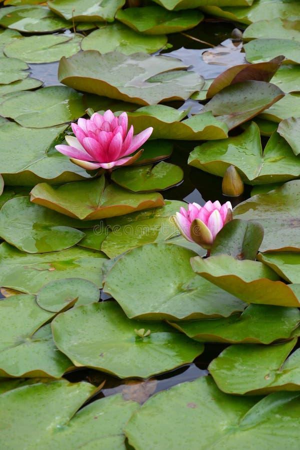 ρόδινα waterlilies στοκ φωτογραφίες με δικαίωμα ελεύθερης χρήσης