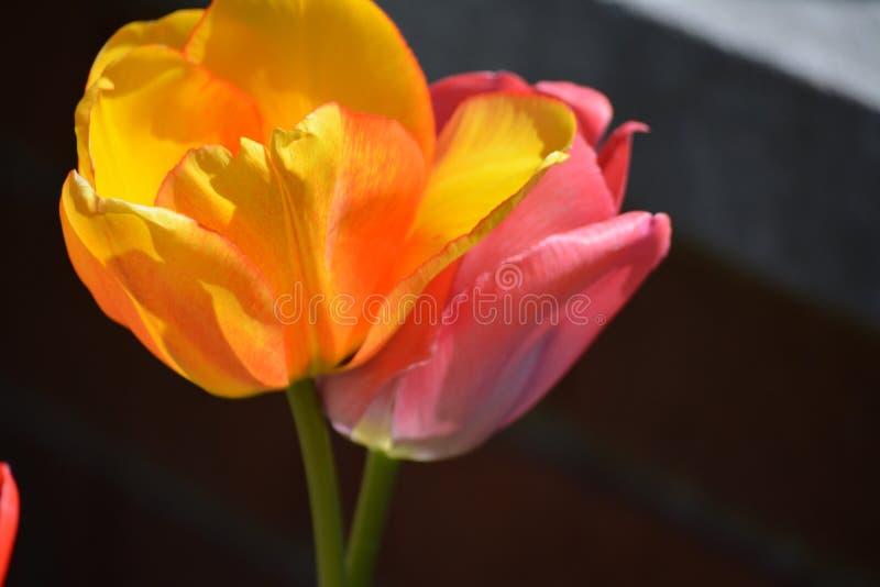 Ρόδινες και κίτρινες τουλίπες λουλουδιών στοκ εικόνα με δικαίωμα ελεύθερης χρήσης