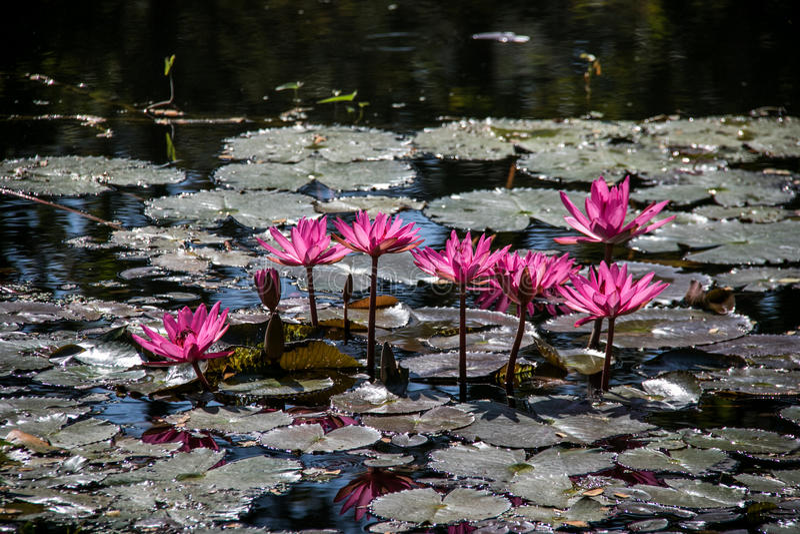 ρόδινη λίμνη λωτού στοκ φωτογραφίες με δικαίωμα ελεύθερης χρήσης