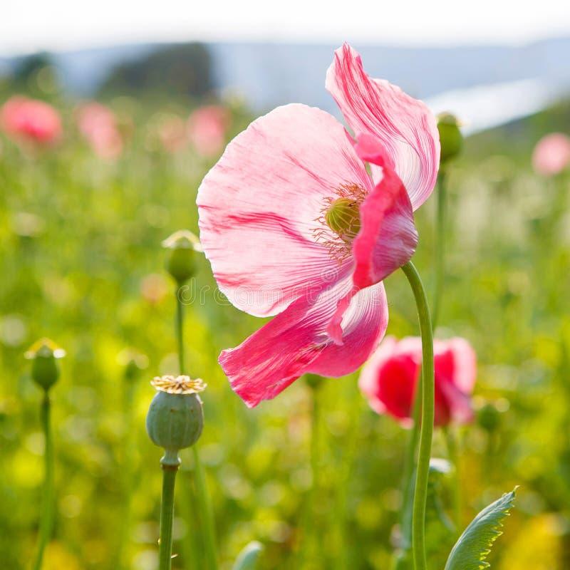 Ρόδινη ανθίζοντας παπαρούνα, τεράστιος τομέας των ανθίζοντας λουλουδιών στοκ εικόνα με δικαίωμα ελεύθερης χρήσης
