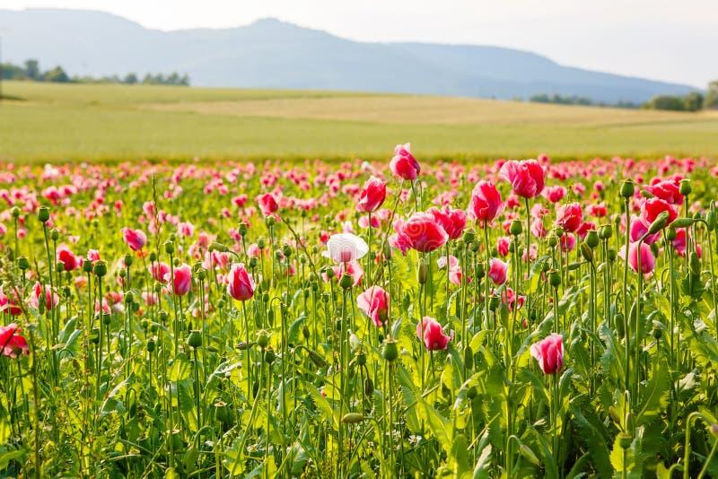 Ρόδινη ανθίζοντας παπαρούνα, τεράστιος τομέας των ανθίζοντας λουλουδιών στοκ εικόνα