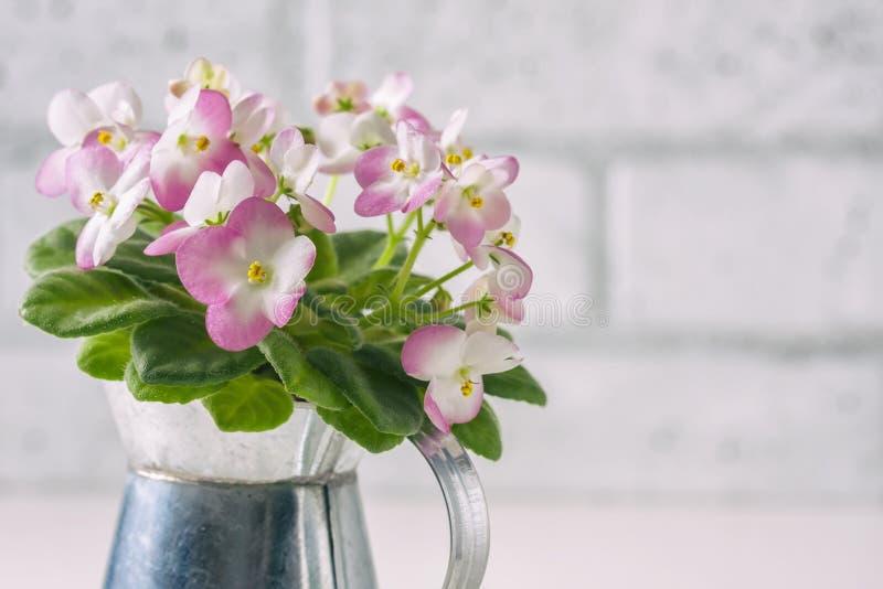 Ρόδινη και άσπρη αφρικανική βιολέτα στο δοχείο λουλουδιών, στο λευκό στοκ εικόνες