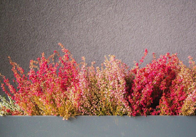 Ρόδινη και πορφυρή ερείκη στο διακοσμητικό δοχείο λουλουδιών στοκ εικόνες