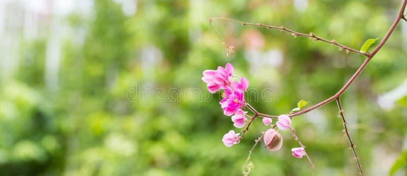 Ρόδινη ομόσπονδη άμπελος που ανθίζει στον κήπο στοκ εικόνες με δικαίωμα ελεύθερης χρήσης