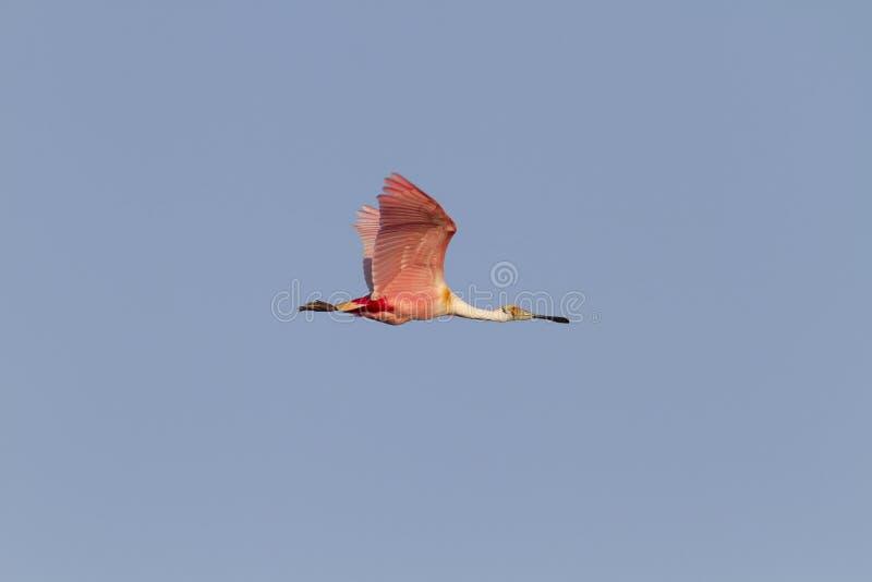Ρόδινη πλαταλέα σε αργά το απόγευμα στοκ φωτογραφίες
