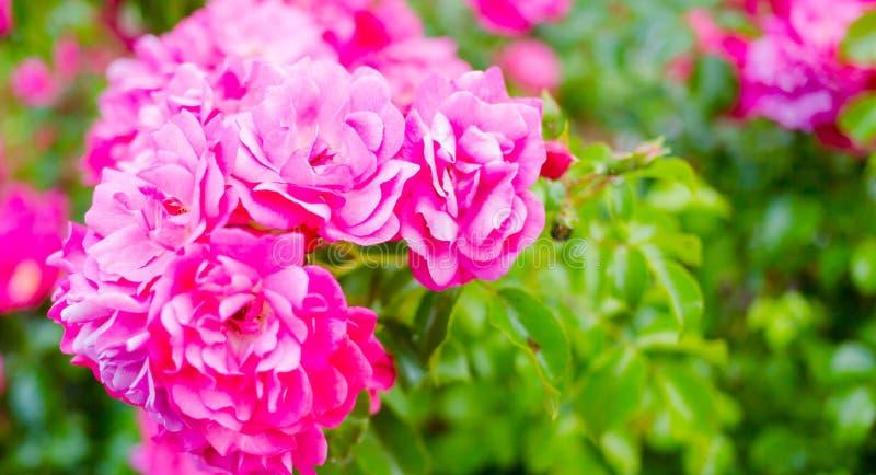 Ρόδινη φρέσκια ανάπτυξη στα τριαντάφυλλα κήπων Ημέρα βαλεντίνων αγάπης backgroun στοκ φωτογραφία με δικαίωμα ελεύθερης χρήσης