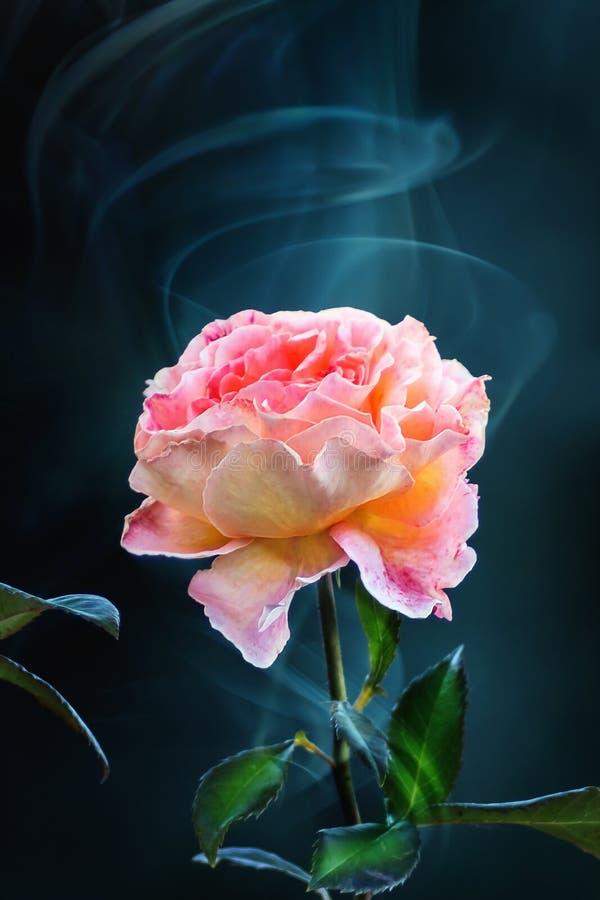 Ρόδινος κίτρινος αυξήθηκε άνθος σε ένα σκοτεινό υπόβαθρο καπνού στοκ εικόνα με δικαίωμα ελεύθερης χρήσης