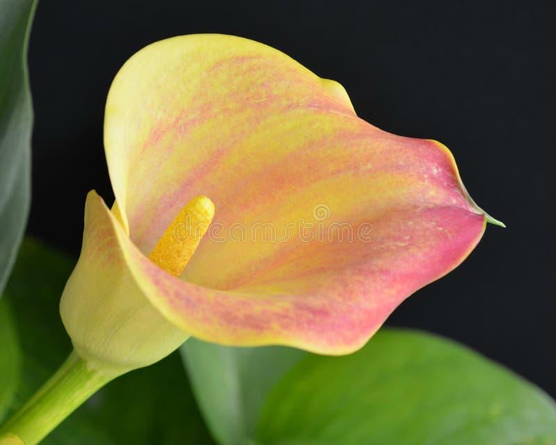 Ρόδινος και κίτρινος calla κρίνος στοκ εικόνα