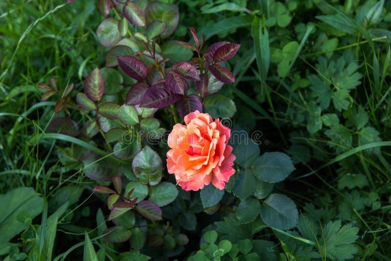 Ρόδινος πορτοκαλής αυξήθηκε στο σκούρο πράσινο φύλλωμα στοκ φωτογραφία
