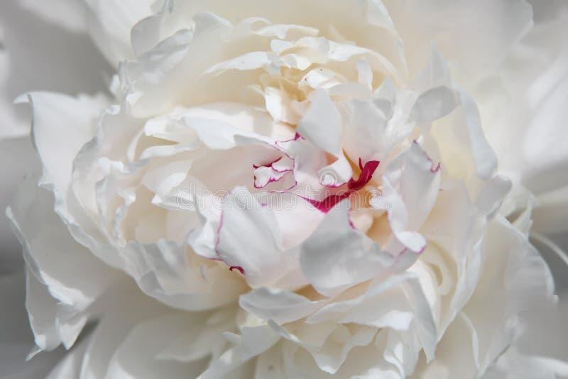 Ρόδινο ανθισμένο λουλούδι magnolia στοκ φωτογραφίες