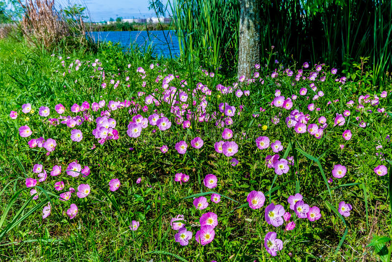 Ρόδινο βράδυ ή ελκυστικό Primrose βραδιού Wildflowers του Τέξας (Oenot στοκ φωτογραφία