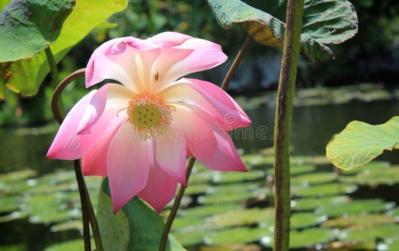 Ρόδινο ιερό λουλούδι Lotus στοκ φωτογραφία με δικαίωμα ελεύθερης χρήσης