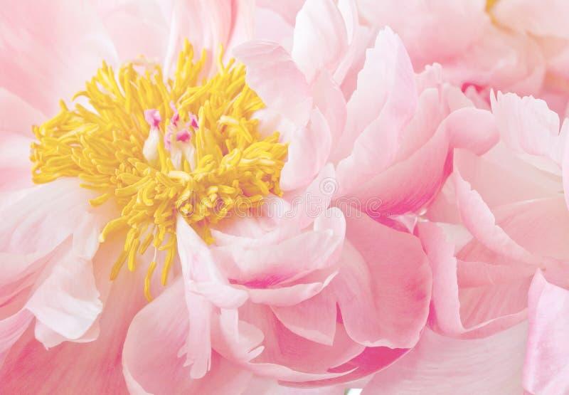 Ρόδινο κίτρινο λουλούδι Peonies Peony στοκ εικόνες
