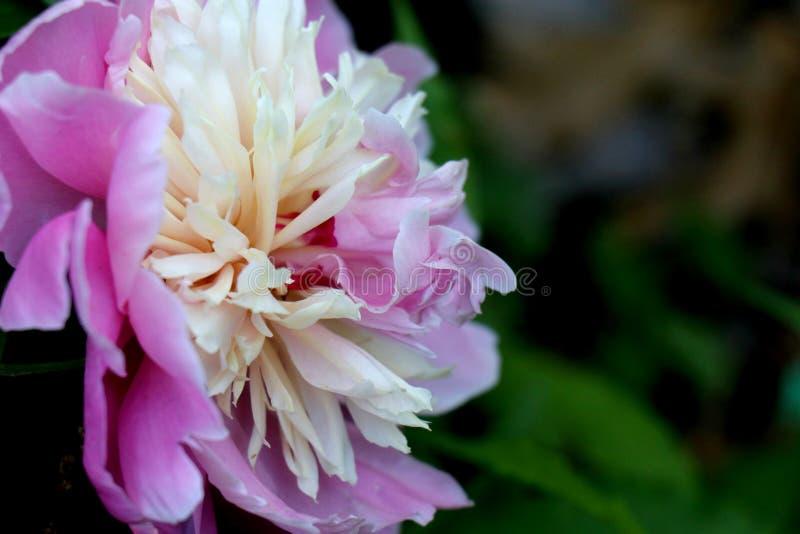 Ρόδινο και άσπρο λουλούδι με το πράσινο υπόβαθρο στοκ φωτογραφίες με δικαίωμα ελεύθερης χρήσης
