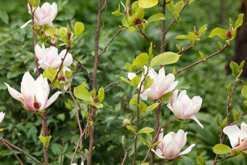Ρόδινο και άσπρο magnolia θάμνων άνθισης στο φύλλωμα στοκ εικόνες με δικαίωμα ελεύθερης χρήσης