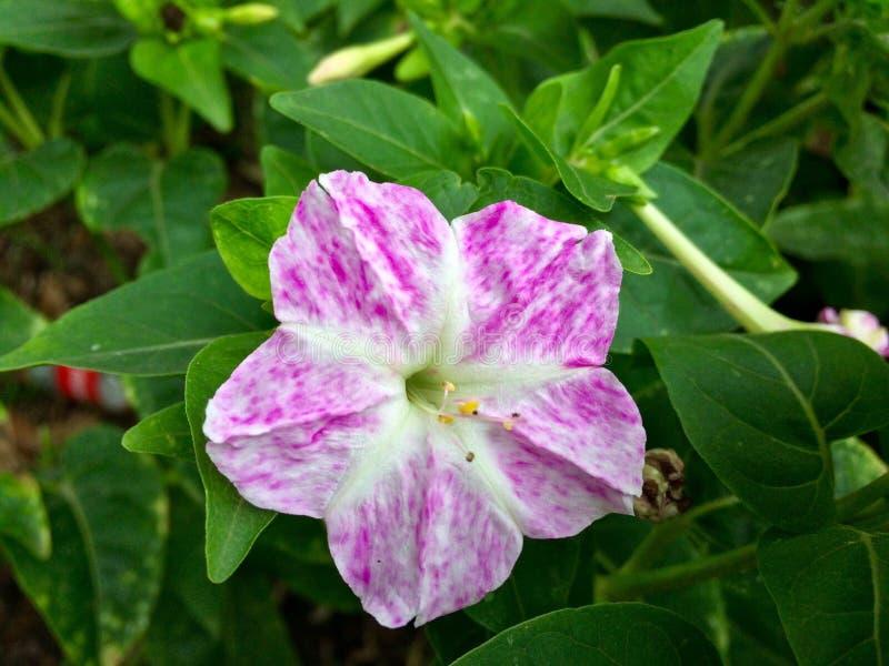 Ρόδινο μικρό λουλούδι στοκ εικόνες