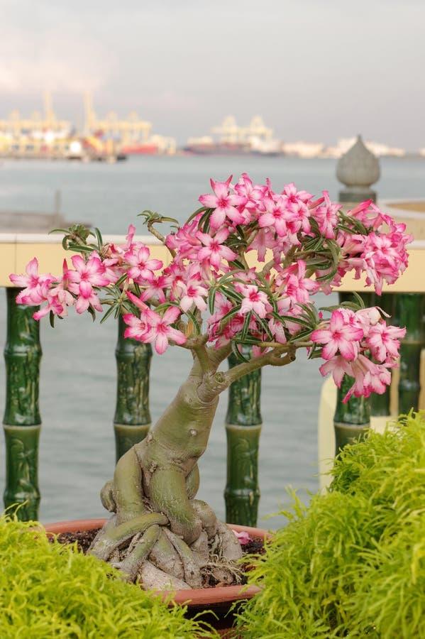 Ρόδινο μπονσάι bougainvillea στον κήπο, νησί Penang, Μαλαισία στοκ φωτογραφία με δικαίωμα ελεύθερης χρήσης
