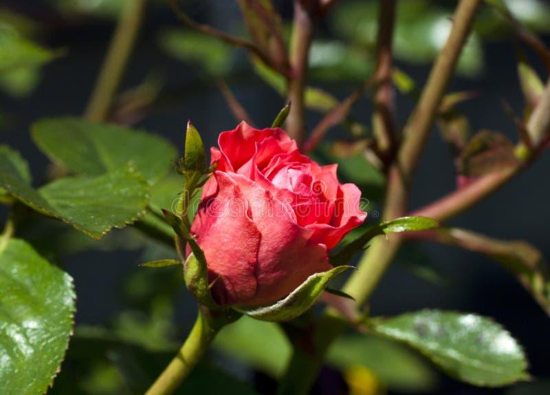 ρόδινο μπουμπούκι τριαντάφ& στοκ φωτογραφίες με δικαίωμα ελεύθερης χρήσης