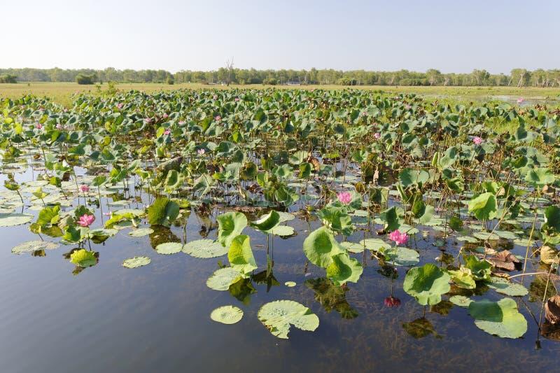 Ρόδινο νερό Lillies, κίτρινος ποταμός, Αυστραλία στοκ φωτογραφίες με δικαίωμα ελεύθερης χρήσης