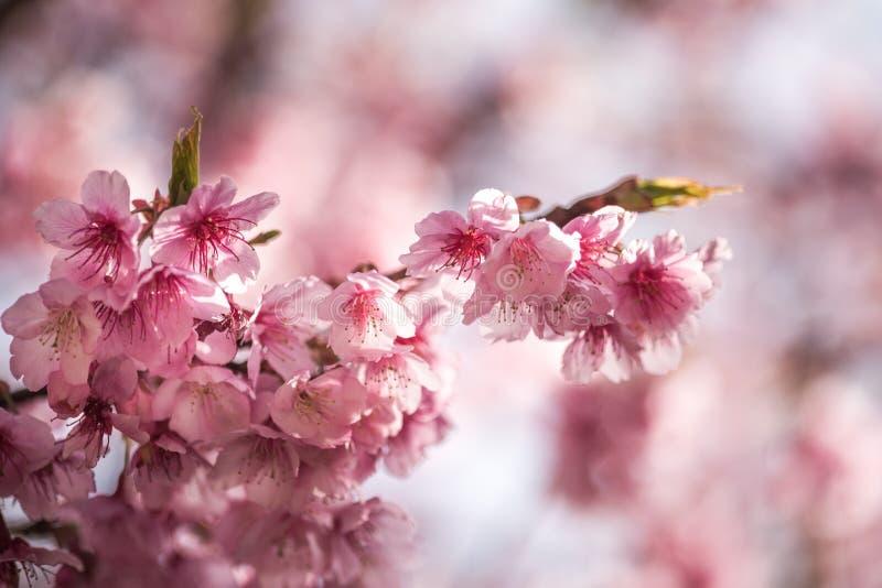 Ρόδινο λουλούδι ή άνθος ή Sakura κερασιών στοκ φωτογραφίες