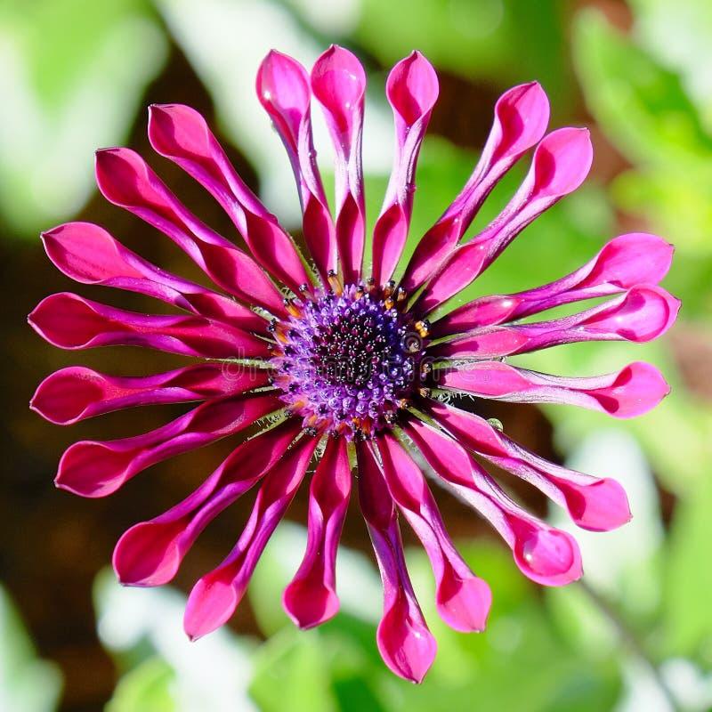 Ρόδινο λουλούδι μαργαριτών αραχνών στοκ φωτογραφία