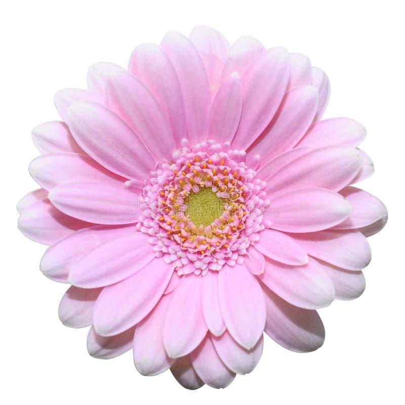 Ρόδινο λουλούδι μαργαριτών που απομονώνεται στην άσπρη ανασκόπηση στοκ εικόνες με δικαίωμα ελεύθερης χρήσης