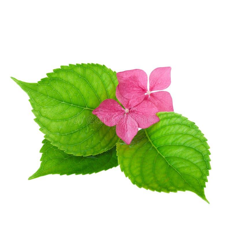 Ρόδινο λουλούδι με το πράσινο φύλλο των λουλουδιών hydrangea στοκ φωτογραφία
