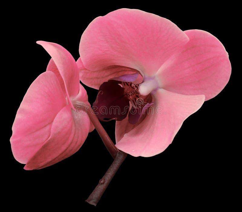 Ρόδινο λουλούδι ορχιδεών Απομονωμένος στο μαύρο υπόβαθρο με το ψαλίδισμα της πορείας closeup Ο κλάδος των ορχιδεών στοκ φωτογραφία με δικαίωμα ελεύθερης χρήσης