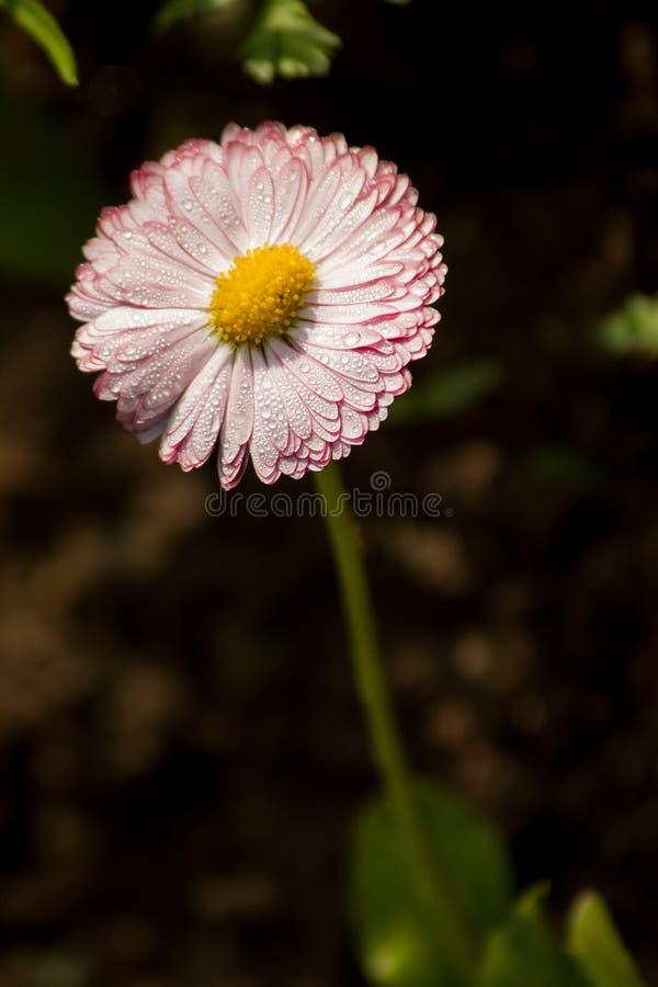 Ρόδινο λουλούδι στη δροσιά πρωινού στοκ φωτογραφίες με δικαίωμα ελεύθερης χρήσης