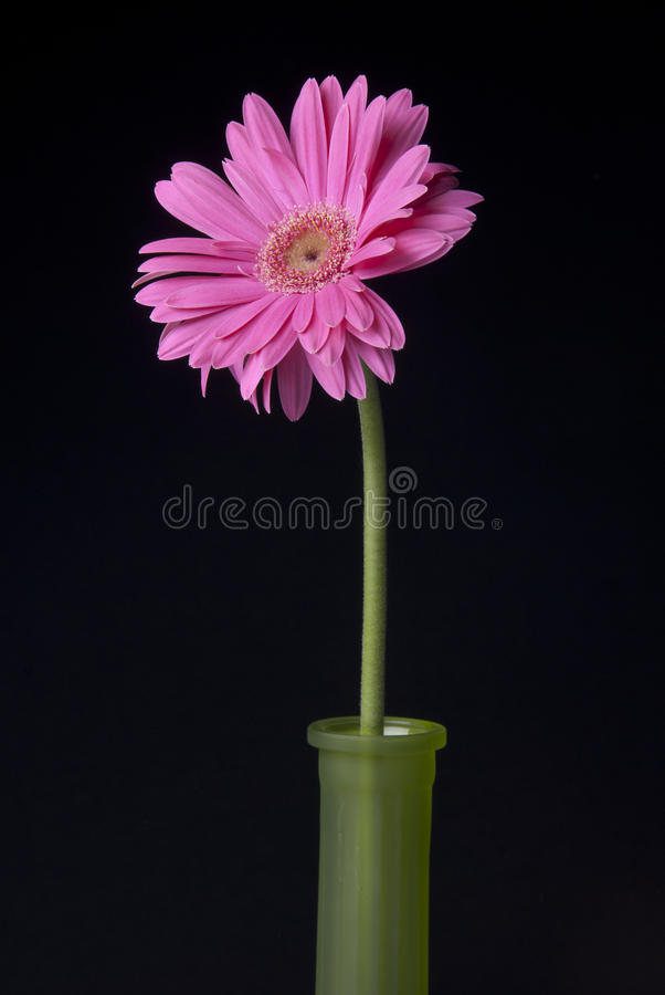 Ρόδινο λουλούδι στο πράσινο βάζο στο μαύρο υπόβαθρο στοκ εικόνα με δικαίωμα ελεύθερης χρήσης