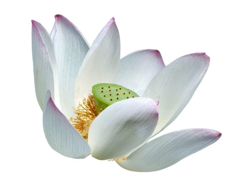 Ρόδινο λουλούδι λωτού στοκ φωτογραφίες με δικαίωμα ελεύθερης χρήσης
