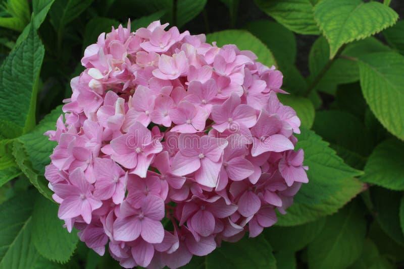 Ρόδινο λουλούδι hydragea που εκτίθεται λεπτομερώς με τα πράσινα φύλλα στοκ φωτογραφίες με δικαίωμα ελεύθερης χρήσης