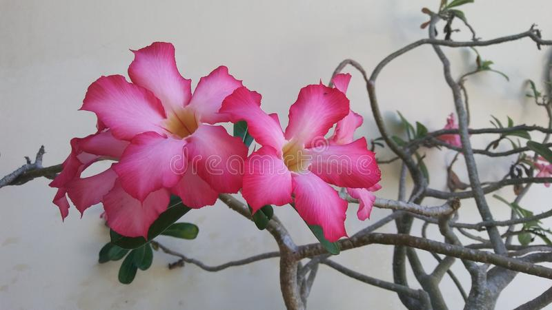 Ρόδινο τροπικό λουλούδι στην άνθιση στοκ φωτογραφία με δικαίωμα ελεύθερης χρήσης