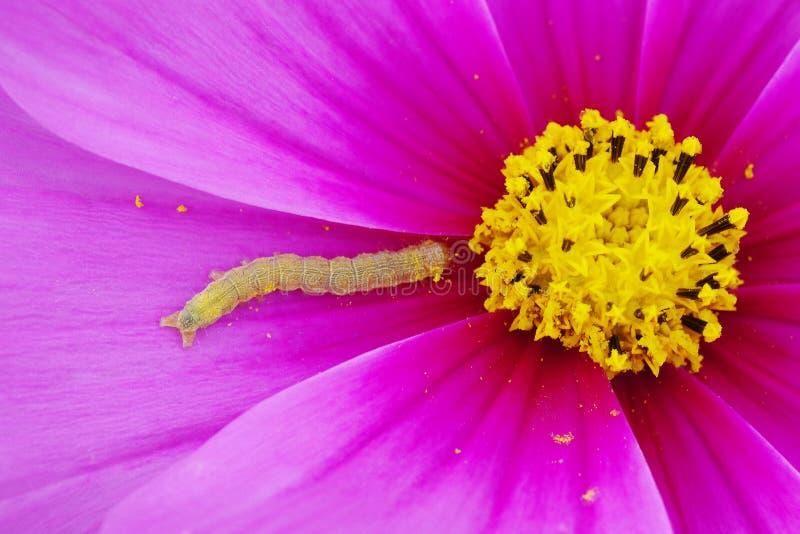 Ρόδινο υπόβαθρο λουλουδιών με το μικροσκοπικό παράσιτο κήπων σκουληκιών στοκ φωτογραφία με δικαίωμα ελεύθερης χρήσης