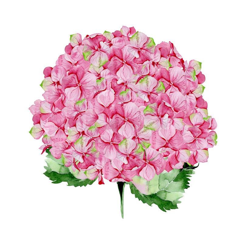 Ρόδινο floral σχέδιο hydrangea watercolor απεικόνιση αποθεμάτων