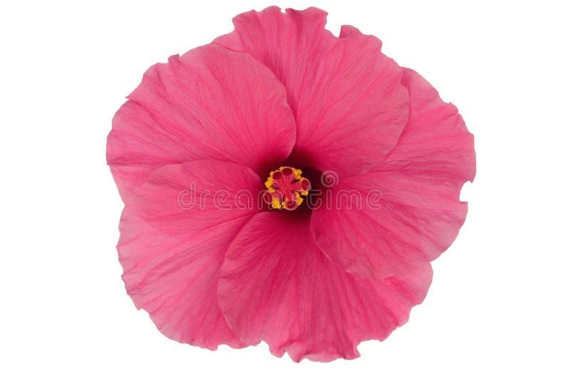 Ρόδινο hibiscus λουλούδι που απομονώνεται στην άσπρη ανασκόπηση στοκ εικόνες