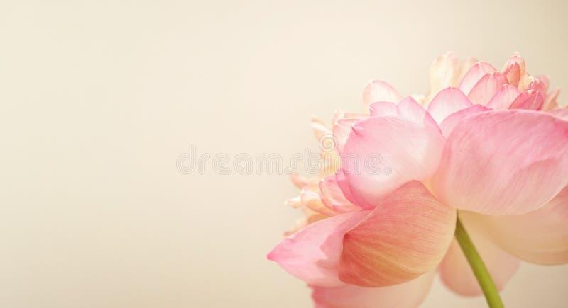 Ρόδινο Lotus στο μαλακό ύφος χρώματος και θαμπάδων στοκ φωτογραφία με δικαίωμα ελεύθερης χρήσης