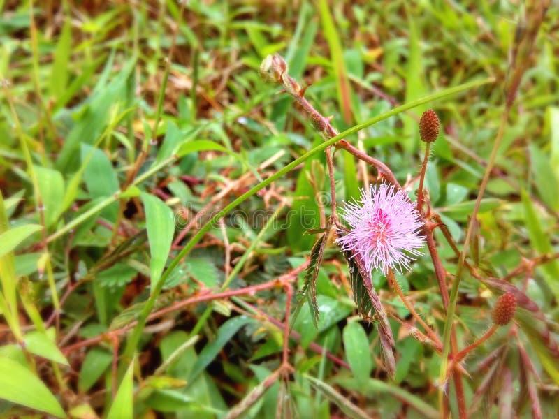Ρόδινο Mimosa στοκ εικόνες