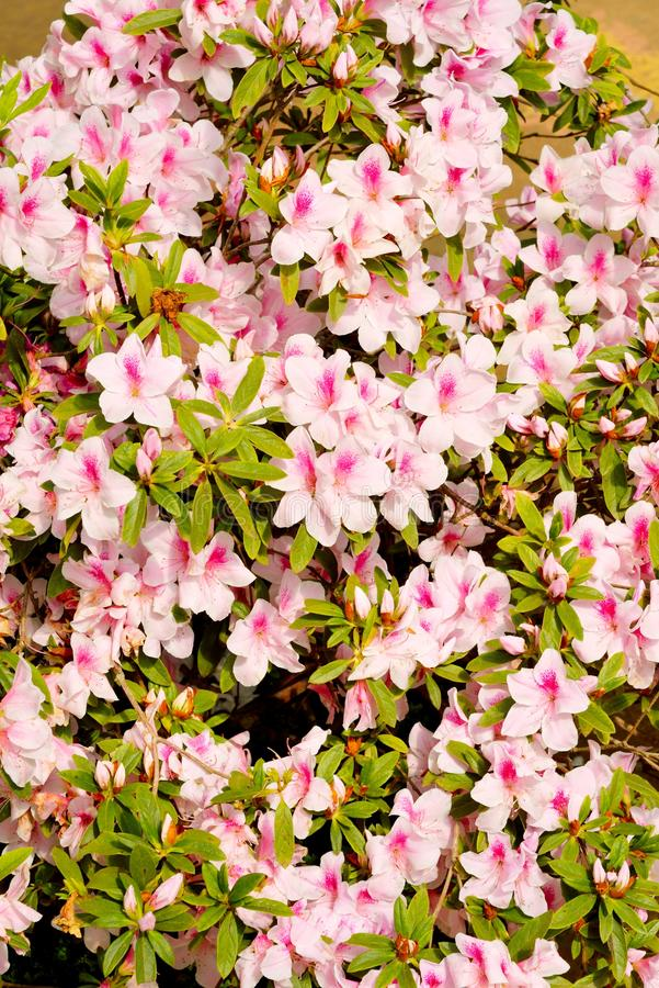 Ρόδινο Rhododendron άνθος στοκ φωτογραφία με δικαίωμα ελεύθερης χρήσης